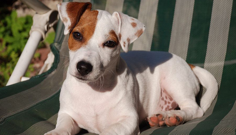 Jack Russell: devi sapere che…