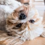 Post-Allergie-del-cane