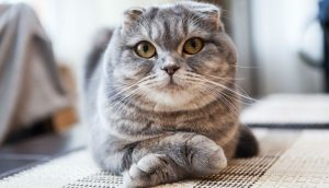 Post-Scottish-Fold